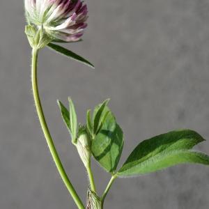 Photographie n°2216218 du taxon Trifolium alpestre L. [1763]