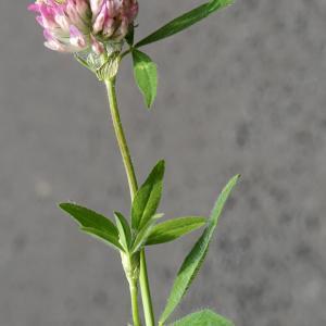 Photographie n°2216220 du taxon Trifolium alpestre L. [1763]
