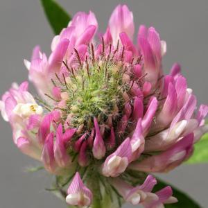 Photographie n°2216226 du taxon Trifolium alpestre L. [1763]
