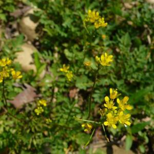 Photographie n°2216245 du taxon Rorippa sylvestris (L.) Besser