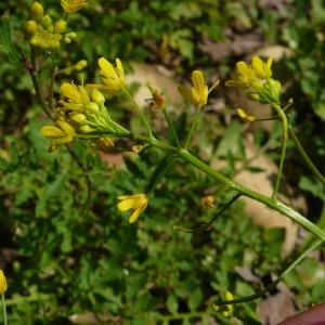 Photographie n°2216246 du taxon Rorippa sylvestris (L.) Besser