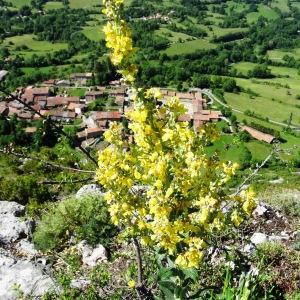 Photographie n°2216325 du taxon Verbascum pulverulentum Vill.