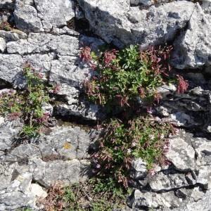 Photographie n°2216329 du taxon Saponaria ocymoides L.