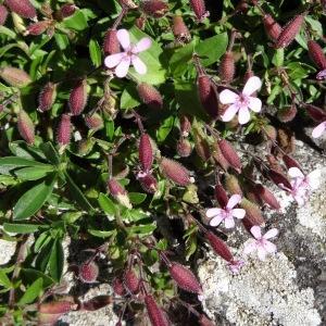 Photographie n°2216330 du taxon Saponaria ocymoides L.