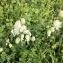 Silene vulgaris (Moench) Garcke [nn64419] par Pascale Contal le 01/05/2018 - Bergerac
