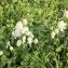 Silene vulgaris (Moench) Garcke [nn64419] par Pascale Contal le 01/05/2018 - Blasimon