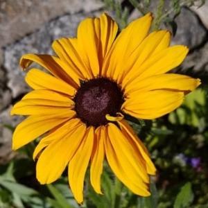 Photographie n°2216349 du taxon Rudbeckia hirta L. [1753]