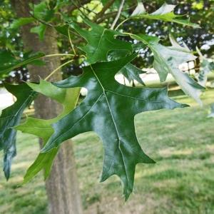 Photographie n°2216430 du taxon Quercus palustris Münchh.