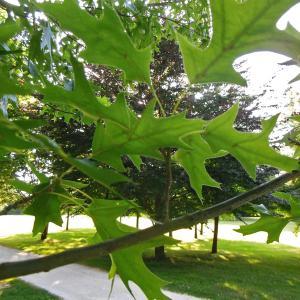 Photographie n°2216431 du taxon Quercus palustris Münchh.