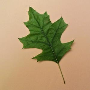 Photographie n°2216432 du taxon Quercus palustris Münchh.