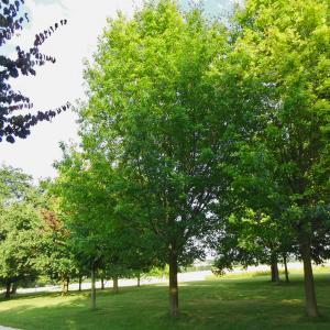 Photographie n°2216433 du taxon Quercus palustris Münchh.