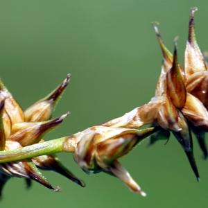 Photographie n°2216492 du taxon Carex stellulata Gooden.