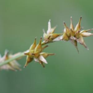 Photographie n°2216493 du taxon Carex stellulata Gooden.