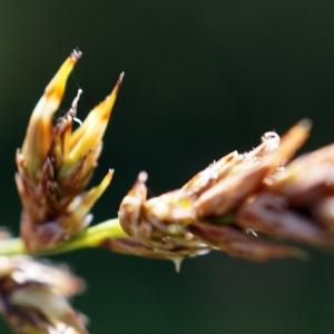 Photographie n°2216495 du taxon Carex stellulata Gooden.