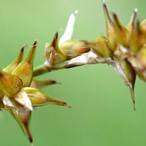 Photographie n°2216498 du taxon Carex stellulata Gooden.