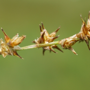 Photographie n°2216500 du taxon Carex stellulata Gooden.