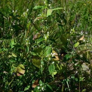 Photographie n°2216611 du taxon Galeopsis tetrahit L.