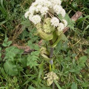 Photographie n°2216684 du taxon Angelica sylvestris L. [1753]