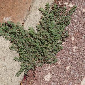Photographie n°2216829 du taxon Euphorbia prostrata Aiton