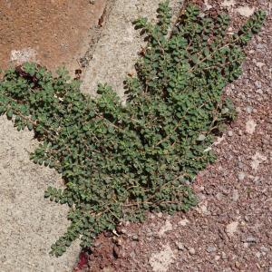 Photographie n°2216830 du taxon Euphorbia prostrata Aiton