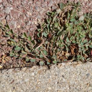 Photographie n°2216833 du taxon Euphorbia prostrata Aiton