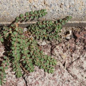 Photographie n°2216835 du taxon Euphorbia prostrata Aiton
