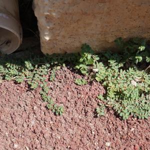 Photographie n°2216836 du taxon Euphorbia prostrata Aiton