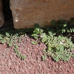 Photographie n°2216837 du taxon Euphorbia prostrata Aiton