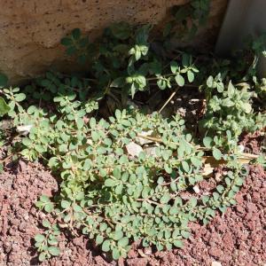 Photographie n°2216838 du taxon Euphorbia prostrata Aiton