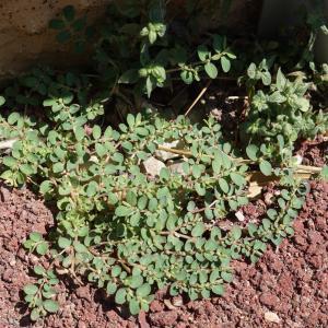 Photographie n°2216839 du taxon Euphorbia prostrata Aiton