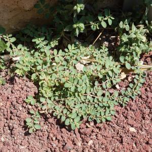 Photographie n°2216840 du taxon Euphorbia prostrata Aiton