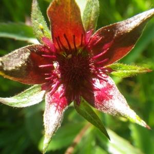 Photographie n°2216921 du taxon Comarum palustre L.