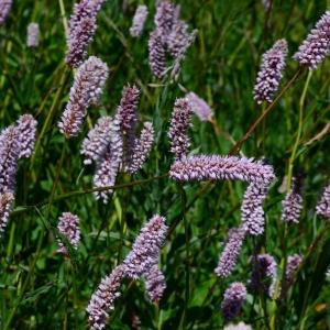 Photographie n°2216994 du taxon Bistorta officinalis Delarbre