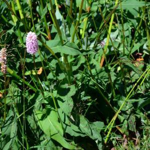 Photographie n°2216995 du taxon Bistorta officinalis Delarbre