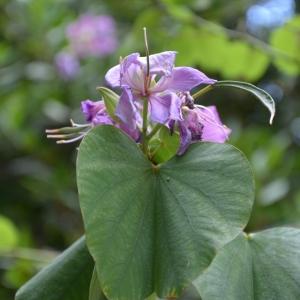 Photographie n°2217055 du taxon Aristolochia macrophylla Lam. [1783]