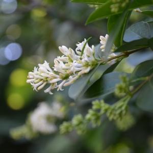 Photographie n°2217064 du taxon Ligustrum ovalifolium Hassk. [1844]