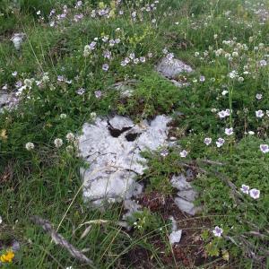 Photographie n°2217079 du taxon Erodium glandulosum (Cav.) Willd. [1800]