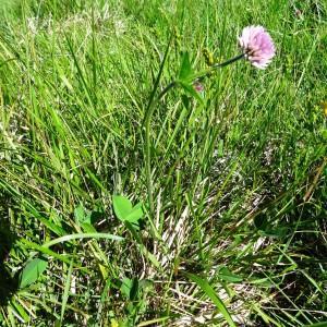 Photographie n°2217090 du taxon Trifolium montanum subsp. gayanum (Godr.) O.Bolòs & Vigo [1974]