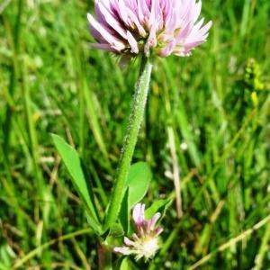 Photographie n°2217092 du taxon Trifolium montanum subsp. gayanum (Godr.) O.Bolòs & Vigo [1974]