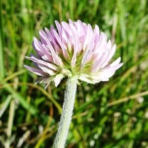 Photographie n°2217093 du taxon Trifolium montanum subsp. gayanum (Godr.) O.Bolòs & Vigo [1974]