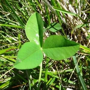 Photographie n°2217094 du taxon Trifolium montanum subsp. gayanum (Godr.) O.Bolòs & Vigo [1974]