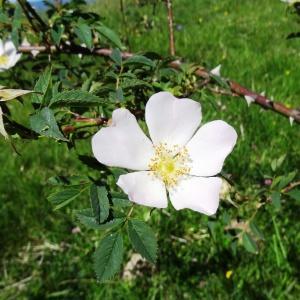 Photographie n°2217099 du taxon Rosa canina L. [1753]