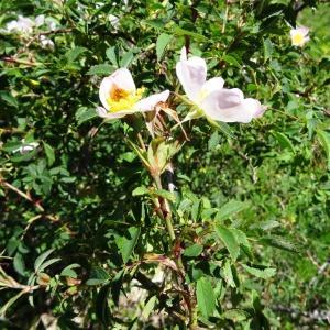 Photographie n°2217100 du taxon Rosa canina L. [1753]