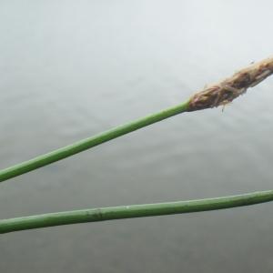 Photographie n°2217223 du taxon Eleocharis palustris (L.) Roem. & Schult.