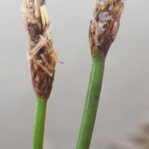 Photographie n°2217225 du taxon Eleocharis palustris (L.) Roem. & Schult.