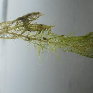 Photographie n°2217472 du taxon Myriophyllum spicatum L. [1753]