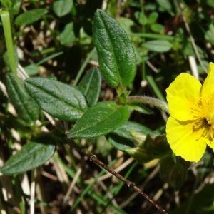 Photographie n°2217577 du taxon Helianthemum nummularium var. grandiflorum (Scop.) B.Bock