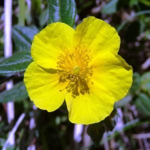 Photographie n°2217578 du taxon Helianthemum nummularium var. grandiflorum (Scop.) B.Bock