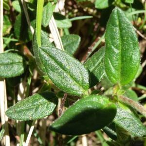 Photographie n°2217579 du taxon Helianthemum nummularium var. grandiflorum (Scop.) B.Bock