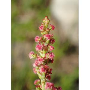 Rumex acetosa subsp. nebroides (Campd.) Maire & Petitm. (Rumex de Gussone)